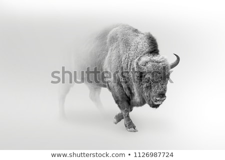 north american bison or buffalo stock photo © cteconsulting