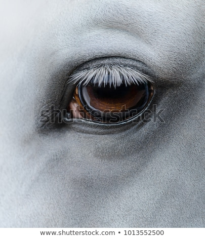 white horse eye closeup shot stock photo © pashabo