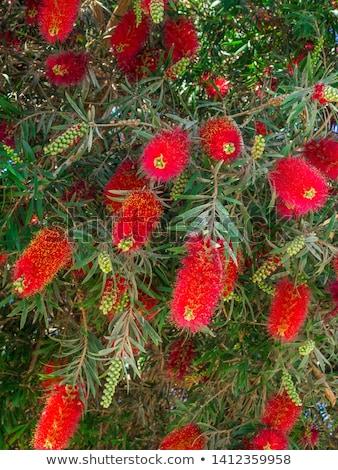 kırmızı · kırmızı · çiçekler · yeşil · yeşillik · yerli · kır · çiçeği - stok fotoğraf © intsys