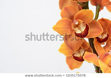 Geel groene orchidee bloem geïsoleerd Stockfoto © stocker