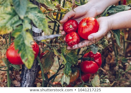 Woman harvesting tomatoes Stock photo © Kzenon
