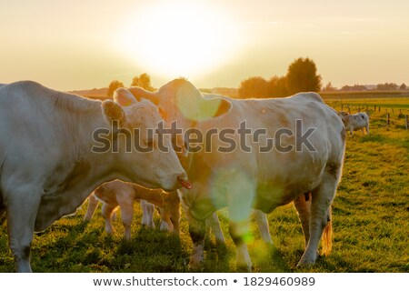 Cow in a grassland in northern of Germany Stock photo © richardjary
