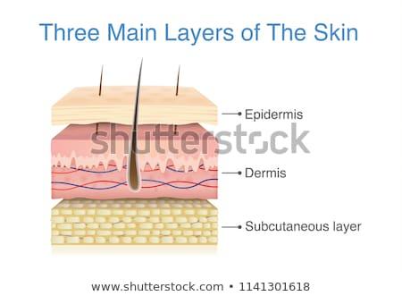 emberi · bőr · részleg · diagram · orvosi · kereszt - stock fotó © lightsource