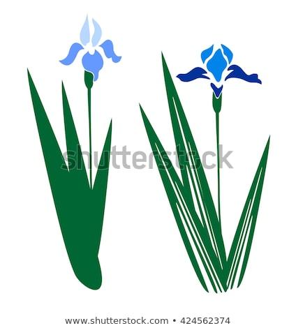 írisz virág lila közelkép Stock fotó © devon