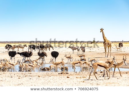 zebra · Namibya · park · Afrika · çift - stok fotoğraf © imagex