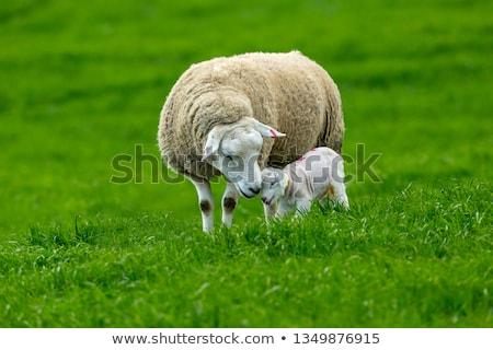 Photo stock: Mère · moutons · regarder · nouvelle · printemps · soins