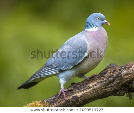 Common Wood Pigeon (Columba palumbus) Stock photo © dirkr