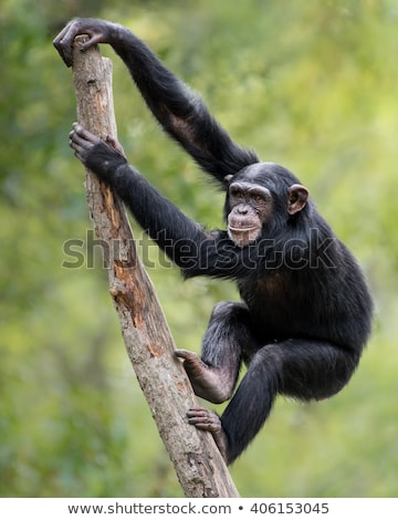 Climbing Monkey Stock photo © tilo