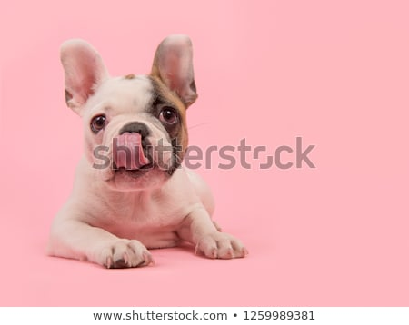 Kissing puppies Stock photo © tilo