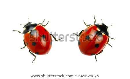 Odizolowany Ladybug makro beetle biały charakter Zdjęcia stock © manfredxy