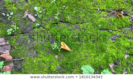 Soil is Covered with Moss and Green Grass. Stock photo © tashatuvango