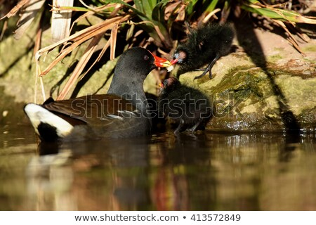 Baba csirke étel szülő madár víz Stock fotó © suerob