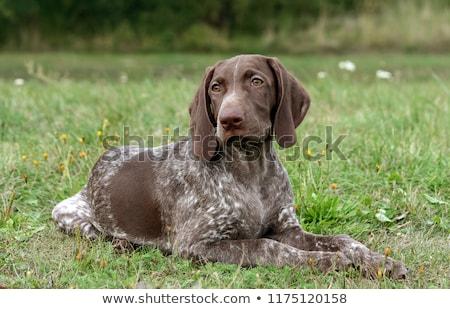 german shorthaired pointer dog stock photo © iofoto