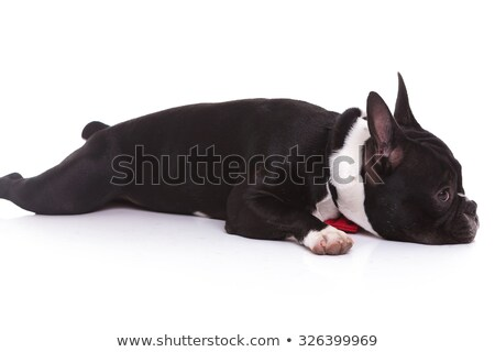 side view of a tired french bulldog puppy lying down  Stock photo © feedough