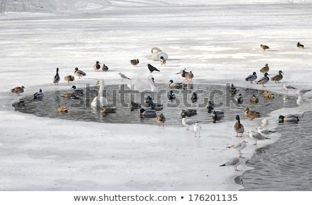 Ducks swimming in winter pond stock photo © Agatalina