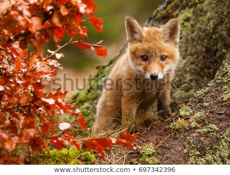 Jeunes rouge Fox domaine printemps herbe Photo stock © jeffmcgraw
