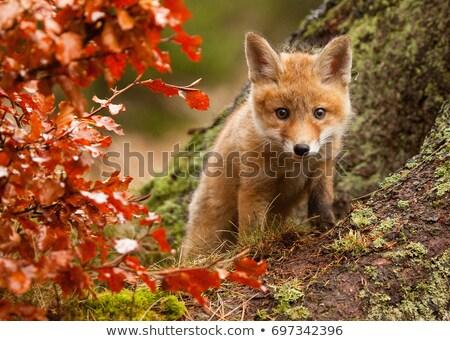 genç · kırmızı · tilki · alan · bahar · çim - stok fotoğraf © jeffmcgraw