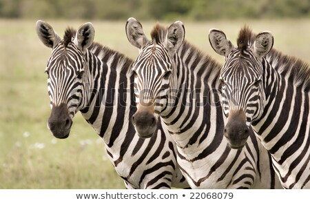 three zebras grazzing in fields stock photo © marcrossmann