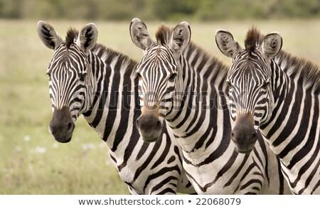 Three Zebra's grazzing in fields Stock photo © marcrossmann