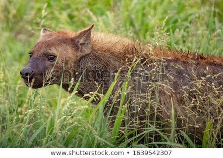 Side profile of a Spotted hyena in the Kruger. Stock photo © simoneeman