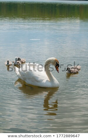 nature with pond and swan Stock photo © compuinfoto