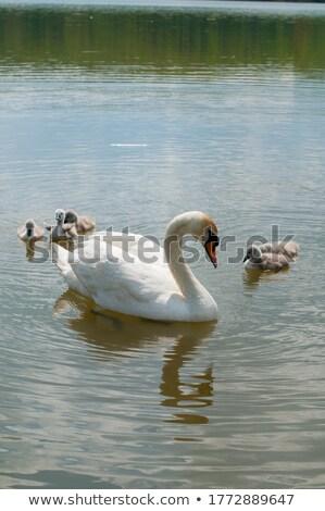 natura · stagno · Swan · bianco · nuoto - foto d'archivio © compuinfoto