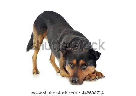 Mixte fort chien appelant jouer Photo stock © vauvau