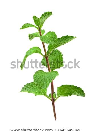 mint plant isolated stock photo © marimorena