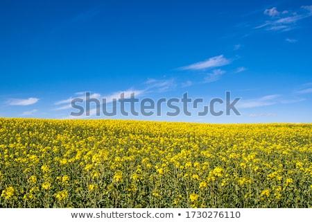 Citromsárga nemi erőszak mezők kék ég gyönyörű égbolt Stock fotó © meinzahn