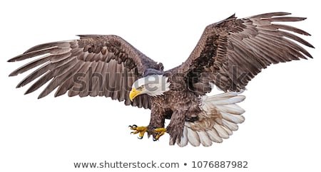 black eagle in flight stock photo © lienkie