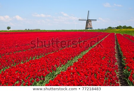 field of red tulips in holland Stock photo © compuinfoto