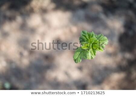 Genç yeşil frenk üzümü çiçek yaprak Stok fotoğraf © Alexan66
