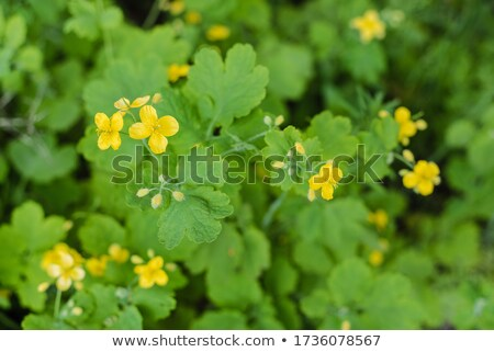 Blooming celandine Stock photo © Givaga
