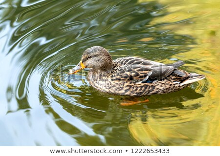 Stock photo: Ducks swimming in the city park lake. Beautiful sunny autumn day