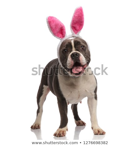 excited american bully wearing pink bunny ears panting Stock photo © feedough
