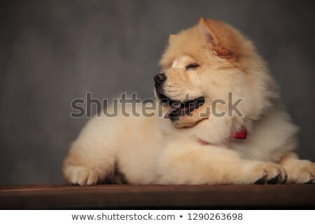 classy chow chow resting on wooden table blinking and panting stock photo © feedough
