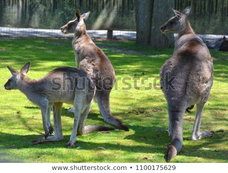 kangaroo family is resting in the park stock photo © galitskaya