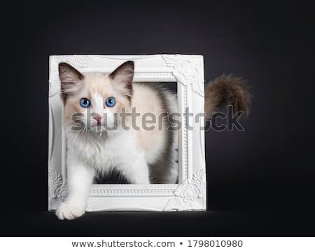 mavi · kedi · kedi · yavrusu · yürüyüş · yalıtılmış · siyah - stok fotoğraf © CatchyImages