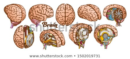 Collection In Different Views Brain Set Vector Stock photo © pikepicture