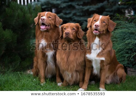 Nova Scotia Duck-Tolling Retriever dog Stock photo © eriklam
