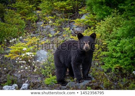黒 クマ ビッグ 早い 春 ストックフォト © nialat