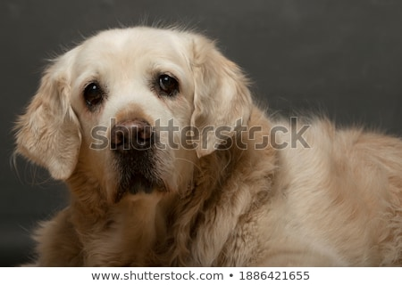 Golden Retriever looking back in a grey studio Stock photo © vauvau