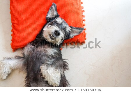 Miniature Schnauzer relaxing in a black studio background Stock photo © vauvau