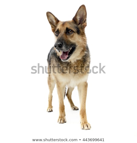 Stock photo: German sherpherd dog posing in a white background studio