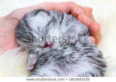 Stockfoto: Sleeping Newborn Silver Tabby Cat In Hand