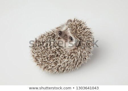 little grey hedgehog resting on its back  Stock photo © feedough