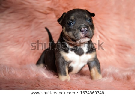cute American bully puppies sitting in pink background Stock photo © feedough