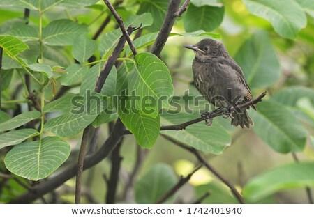 Közelkép baba férfi fekete rigó fű természet Stock fotó © lightpoet
