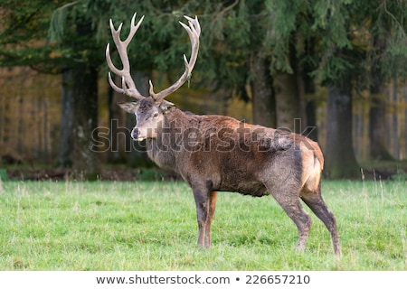 resting Red Deers Stock photo © prill