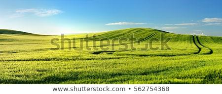 zöld · domb · búza · kék · ég · fű · nap - stock fotó © elenaphoto